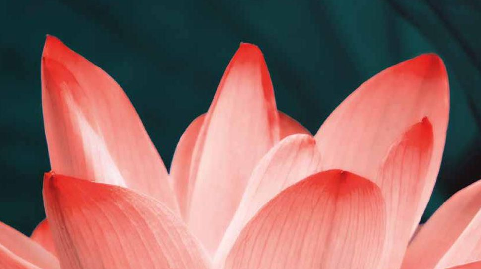 petals   pink   flower   plant  nature   water-lily